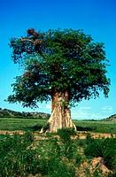 Baobab Tree , Zimbabwe