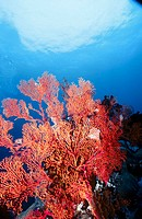 Sea fan (Gorgonia sp.). Komodo National Park. Indonesia