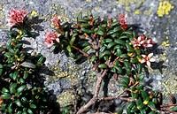 loiseleuria procumbens flowers, masino valley, italy