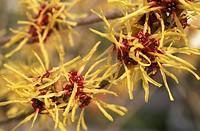 hamamelis mollis flowers, arco di trento, italy