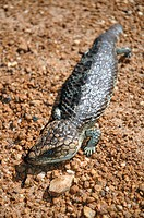 Shingleback lizard or bobtail (Tiliqua rugosa), a common inhabitant of Western Australia's arid regions