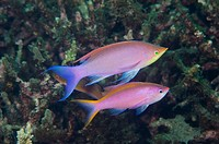 Pair of purple anthias, Pseudanthias tuka, male and female, Dumaguete, Negros Island, Philippines