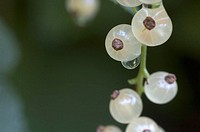 White Currants. Ribes petraeum, Summer, Maryland, USA