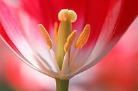 Flower,Tulip,Tulipa