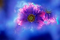 Flower,Dahlia