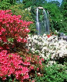 Flower,Rhododendron Azalea,Rhododendron