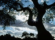Meadow landscapes. Oak silhouette. Badajoz province. Spain.