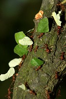 leaf-cutting ant , leafcutting ant , leaf cutting ant , Atta cephalotes , Central America , South America , America