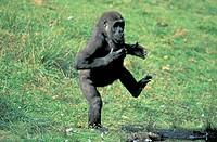 Lowland Gorilla , Gorilla gorilla gorilla , Africa , subadult male threatening