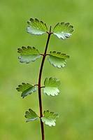 Sald Burnet , Sanguisorba minor , Germany , Europe , bloom , food , herb
