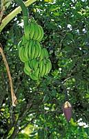 Banana Plant , USA , sapientum , Trinidad Caribbean , fruit food bloom