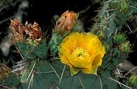 Opuntia cactus , Opuntia , Arizona , USA , America , cactus bloom