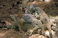 Common iguana , Iguana iguana , Roatan , Honduras , Central America , America , group of adults