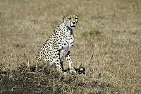 Cheetah, Acinonyx jubatus, Masai Mara, Kenya, adult