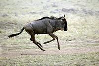 Wildebeest, Connochaetus taurinus albojubatus, Masai Mara, Kenya, adult running