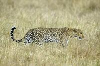 Leopard, Panthera pardus, Masai Mara, Kenya, adult female