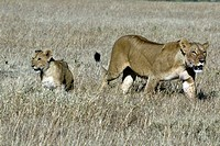 Lion, Panthera leo, Masai Mara, Kenya, female with cub