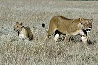Lion, Panthera leo, Masai Mara, Kenya, female with cub