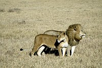 Lion, Panthera leo, Masai Mara, Kenya, adult couple