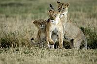 Lion, Panthera leo, Masai Mara, Kenya, adult female playing