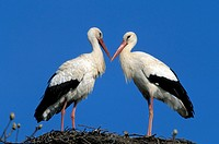 White Stork , Ciconia ciconia , Europe , Germany , Africa , adult couple , pair  on nest