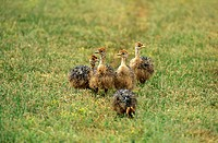South African Ostrich , Struthio camelus australis , Karoo , South Africa , Africa , group of young birds