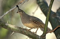 Gambel`s Quail , Callipepla gambelii , Sonora Desert , Arizona , USA , America , adult female on tree