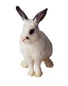 White Rabbit with Black Mark