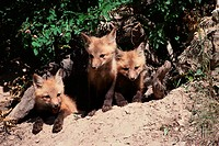 Red fox kits (Vulpes vulpes) emerging from den