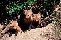 Red fox kits (Vulpes vulpes) emerging from den