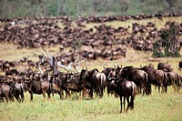 Wildebeest (Connochaetes taurinus) migration on Serengeti