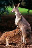 Female red kangaroo with joey