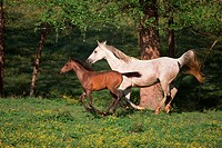 Foal running with mare