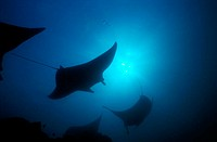 Silhouette of Manta Rays Swimming