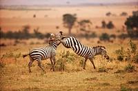 Zebras kicking
