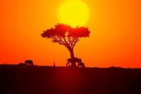Kenyan sunset with wildebeest and tree