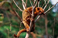 Kinkajou in tree
