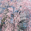 Cherry blossoms on tree, full frame, spring