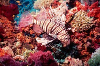 Lionfish. Raz Mohammed. Red Sea. Sharm El Sheik. Egypt