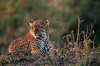 Leopard (Panthera pardus) lying and watching, Masai Mara, Kenya