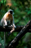 Golden langur (Presbytis geei) sitting on branch, captive, India