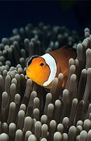 Western Clownfish, Amphiprion ocellaris