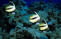 Red Sea bannerfish, Heniochus intermedius