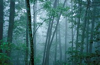 Forest, fog, Blue Ridge Parkway, Appalachian Mountains, North Carolina, USA, America, North America, landscape