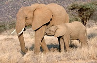 African Elephants (Loxodonta africana), mother suckling calf. Samburu National Reserve. Kenya