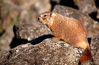 Yellow-bellied Marmots (Marmota flaviventris). Yellowstone N.P., Wyoming, USA