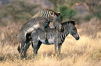 Grevy's Zebra (Equus grevyi), mating. Samburu National Reserve. Kenya