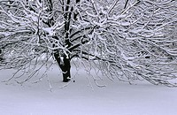 Snow on a lone tree, hanging on limbs