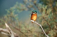 Kingfisher (Alcedo atthis)