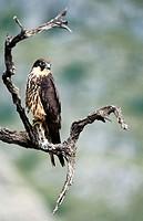 Eleonora´s Falcon (Falco eleonorae)